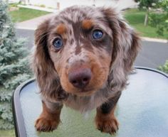 Merle Blue Eyed Long Haired Dachshund ... How sweet is that face?