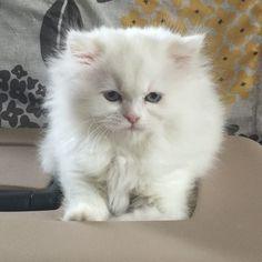 Beautiful blue-eyed white  #cutestkittensincanada #cute #thedailykitten #himalayancat #himalayan #cat #cats #kitten #kittens #himalayankitten #fluffy #catsofinstagram #catlovers #kitty #adorable #ilovemycat #love #catlover #cutecat #instakitty #instacat #valleyhimalayans #persiankitten #blueeyes by valleyhimalayans