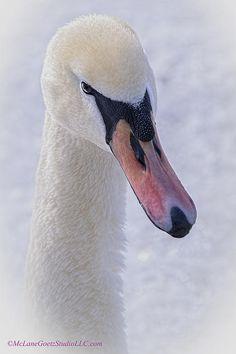 Mute Swan seen at Algonac State Park in Algonac, Michigan, photo by McLane Goetz Studio