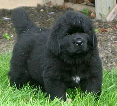 BearNMind Newfoundland Puppy