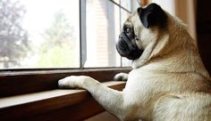 Separation anxiety in dogs can make life difficult for both pets and their parents. From recognizing the symptoms to training and medication, here's how to help a dog with separation anxiety. Dog Separation Anxiety, Dog Anxiety, Italian Greyhound Rescue, Cute Pugs, Pug Love, Pet Health, Dog Friends, Your Pet, Dog Cat