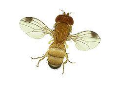 suzukivlieg, een ramp voor de druiventeelt.