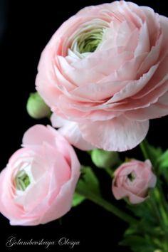 Ranunculus Sugar Flowers by Golumbevskaya Olesya Sugar Flowers, Fresh Flowers, Pink Flowers, Beautiful Flowers, Exotic Flowers, Pink Peonies, Yellow Roses, Pink Roses, Paper Flowers