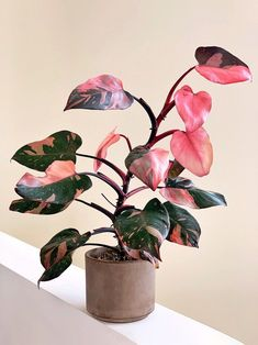 Plantas Indoor, Pink Plant, Plants Are Friends, Variegated Plants, Office Plants, Rare Plants, Pink Princess, Tropical Plants, Green Plants