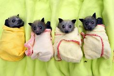 Happy October! Here Are 10 Bats Swaddled inBlankets