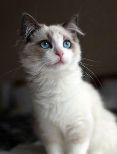 Top 25 Cute Kittens and Funny Cats Cute Kittens, Cats And Kittens, Ragdoll Cats, Pretty Cats, Beautiful Cats, Animals Beautiful, Pretty Kitty, Animal Gato, Amor Animal