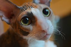 Cornish Rex. The best Cat in the world.