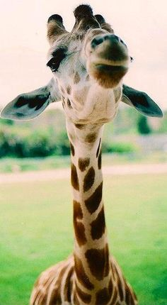 Attention, Attention! Giraffe Kiss-a-Maniac's back in town! Come and get your smooch! Gimme a like if you wanna kiss, lol... <3