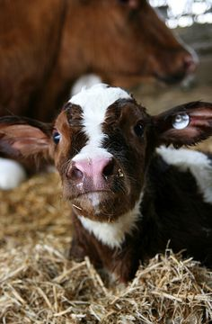 Curious brown and white furry cow looking adorable on the farm. Animals and thei… - ANIMAL PHOTOGRAPHY Cute Baby Cow, Baby Cows, Cute Cows, Cute Baby Animals, Farm Animals, Animals And Pets, Baby Elephants, Wild Animals, Vida Animal