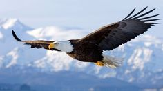All types of eagle birds in the world with amazing facts. Eagles are some of the largest birds. They are at the top of the food chain, with some species feeding on big prey like monkeys and sloths. Spirit Animal Quiz, Whats Your Spirit Animal, The Eagles, Wings Like Eagles, Bald Eagles, Eagle Images, Eagle Pictures, Funny Pictures, Mike Brant