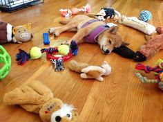 Shiba Inu rule #35: When a Shiba Inu has played with all their toys once, they will be bored with them. You must immediately purchase additional toys.