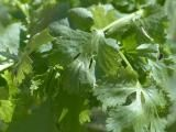 Cilantro is Spanish for coriander. Coriander is the small seeds from the cilantro plant that are dried and used in curries, pickles, sausages, stews, soups and much more. Growing Coriander, Coriander Cilantro, Coriander Seeds, Parsley, Hydroponic Gardening, Hydroponics, Como Plantar Cilantro, Cilantro Benefits, Edible Garden