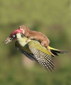 This Photo Of Baby Weasel Flying On A Woodpecker Won Our Hearts -- Until We Realized What Was Happening. The weasel was actually attacking the woodpecker! Nature Animals, Animals And Pets, Beautiful Birds, Animals Beautiful, Cute Baby Animals, Funny Animals, Fauna, Funny Animal Pictures, Animal Photography