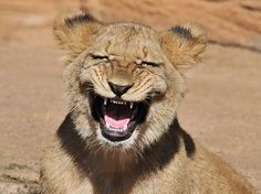 Cheeky lion cub caught cracking a smile on camera | The Sun |News