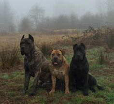 HOUFEK MASTIFFS is a family ran, Mastiff {Hybrid, Mix, Designer} breeding and training program. Our lines consist of South African Boerboel, Cane Corso, Argentine Dogo, and a little Great Dane blood. 'BEST of the BEST ONLY'