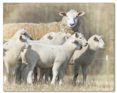 SHEEP AND LAMBS Animal Photography Farm by CountryWithAttitude, $25.00