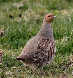 Grey Partidge (perdix perdix) - Blakehill Farm - November 2011