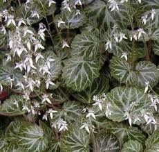 Strawberry Begonia, Saxifraga stolonifera [Sarmentosa] aka Rockfoil, Strawberry Geranium and Mother of Thousands