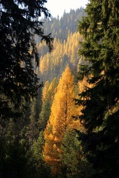"October: ""There are two times to hunt in Adams: ordinary times, and when the tamaracks are smoky gold. This is written for those luckless one who have never stood, gun empty and mouth agape, to watch the golden needles come sifting down..."" (54-55). In the attached photo you can see the changes of colors in the tamarack forest from green to yellow. This is nature at its finest; why not take gaze at this beauty. It seems that in the most unlikely of places you can find true perfection."