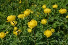 """Yellow Tulips"" by Betty Mackey Globe Flower, California Garden, Yellow Tulips, Flowers Perennials, Shade Garden, Beautiful Places, Seeds, Fruit, Spring"