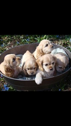 Cocker Spaniel babies - Reminds me of my sweet Cocoa (RIP). Puppies And Kitties, Cute Puppies, Pet Dogs, Dog Cat, Kittens, Doggies, American Cocker Spaniel, Cocker Spaniel Puppies, Baby Animals