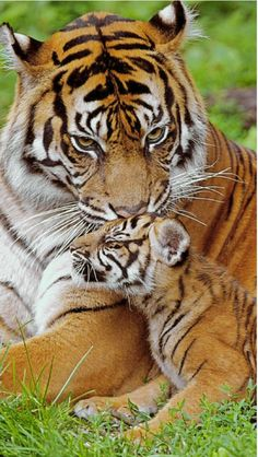 Mother tiger lovingly grooming her cub.