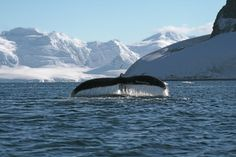 Breaching Whale In Antarctica. For more visit GreenGlobalTravel.com!