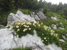 Image result for Dryas octopetala