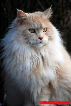Adult Maine coon cat. One of my dream cats to have...