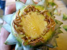 faire pousser un ananas avec la tête-racines