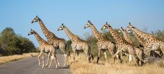 A family of giraffe cross the H10 just south of Tshokwane picnic site.