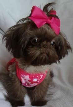 Cute tiny chocolate Shih Tzu. Looks a lot like mine! www.ShowTymeShihTzu.com #shihtzu