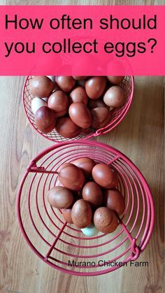 often should you collect eggs? How often should you collect eggs from the coop? Article from How often should you collect eggs from the coop? Chicken Garden, Chicken Life, Chicken Runs, Chicken Houses, Farm Chicken, Small Chicken, Fresh Chicken, Keeping Chickens, Raising Chickens