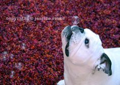 English Bulldog with Bubbles  Dog photo  Pet by PiperStoneArtwork, $8.00