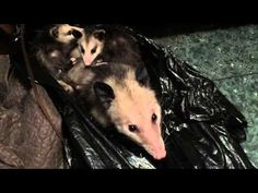 This Hilarious Woman Found A Family Of Possums In Her Closet And Filmed The Whole Experience