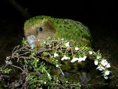 This bird is a Kakapo, and he's one of a few. They are critically endangered and are also the largest parrots, as well as being flightless and nocturnal. They live in New Zealand.