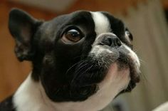 Boston terrier What do you mean Santa's not real?!