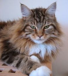 Norwegian Forest Cat Maine Coon | Like the Norwegian Forest cat and other big cats, Maine Coon ...