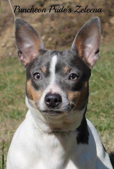 Teddy Roosevelt Terrier Champion Puncheon Pride's Zeleena