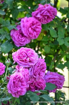 'Mme Isaac Pereire' roses
