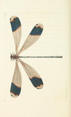 - The naturalist's miscellany, or Coloured figures of natural objects - Biodiversity Heritage Library - blue-tipped dragonfly Dragonfly Illustration, Dragonfly Drawing, Dragonfly Art, Dragonfly Tattoo, Illustration Art, Photocollage, Insect Art, Botanical Drawings, Photo Wall Collage