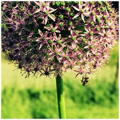 Allium - Watching life In my garden