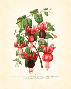 Vintage Fuchsia Botanical Art Print 8 x 10 Home Decor Wall Hanging Digital Collage Cottage Chic Garden. $10.00, via Etsy.