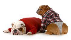 Bilder von Humor Bulldogge Hunde Höschen Zwei Schlaf Uniform Tiere Weißer hintergrund 2