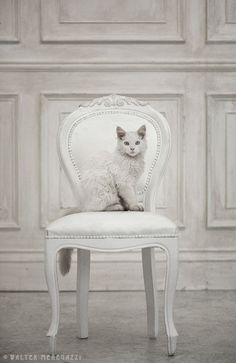 white cat on french gray background.  Cabin & Cottage : Photo