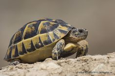 Mediterranean spur-thighed tortoise (Testudo graeca graeca)