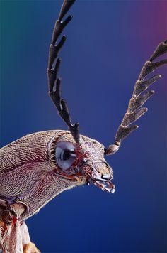 Click Beetles: Genera of the Australian Elateridae (Coleoptera)     Photographer- spongepuppy    Taken with Hoya 40mm f3.5 EL Super @ f4, PB6 bellows on Nikon D7000, Stackshot, ZS, etc.