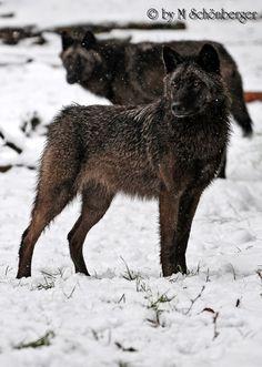 Kanadische Wölfe
