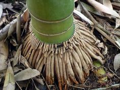 find this pin and more on growing bamboo - Growing Bamboo