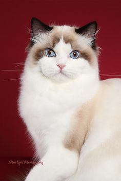 Ruby Ridge Rags Ragdoll Cattery - Ragdoll Cats CA - Our Girls Cute Cats And Kittens, Cool Cats, Kittens Cutest, I Love Cats, Pretty Cats, Beautiful Cats, Animals Beautiful, Cute Animal Pictures, Cat Breeds